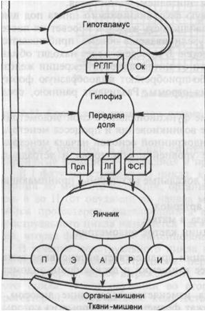 Физиология женской репродуктивной системы.  Менструальный цикл.